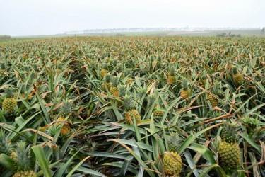 万宁计划投入2000多万元 推广菠萝优良新品种8000亩