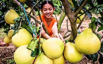 儋州蜜柚成熟季节,迎来体验采摘热潮