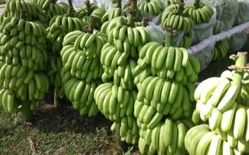 澄迈美亭香蕉