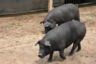 儋州温泉黑猪