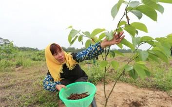 儋州新州镇打造桑葚采摘园助农脱贫