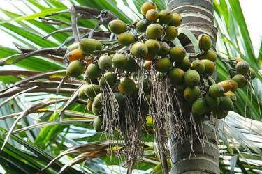 陵水槟榔获国家地理标志产品认证