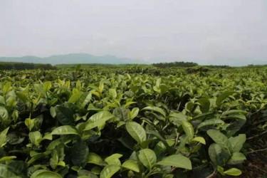 海南将在全省规划茶叶生产优势区