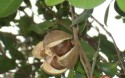 """海南琼海大力推广山柚树种植 打造""""中国白花油茶之乡"""""""