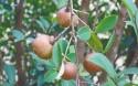 屯昌中坤农场公司打造油茶标准化示范基地