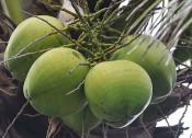 海南椰子价格暴涨真相 背后不为人知的秘密