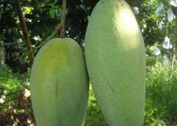 海南常见的芒果品种有哪些