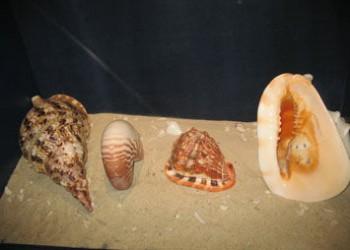 海南四大名螺是什么,你知道哪些