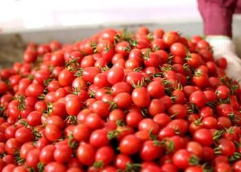 陵水推行欧盟GAP标准种植圣女果