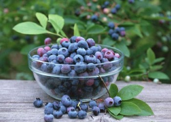 五指山试种蓝莓获得成功