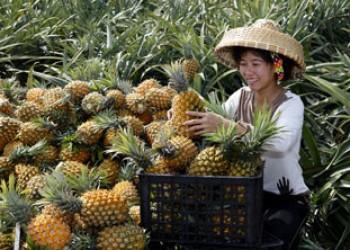 万宁龙滚菠萝