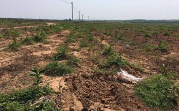八一总场着力打造三红蜜柚产业基地