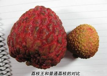海南常见的荔枝品种有哪些