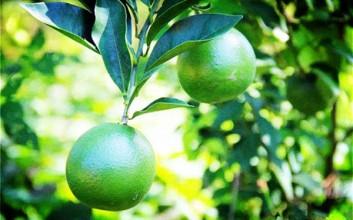 海南琼中将建省级标准化水果(绿橙)示范县