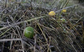 琼中绿橙因台风减产,上市时间推迟至11月
