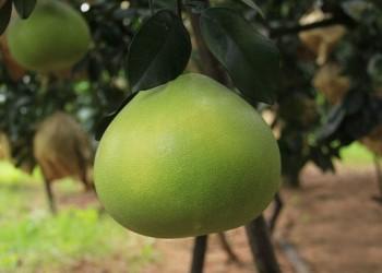 澄迈山口青柚