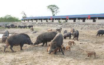 儋州特种野猪