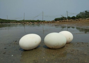 儋州跑海鸭蛋