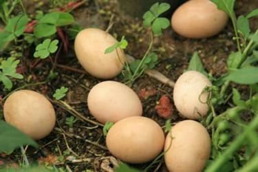 白沙虫草鸡蛋