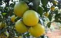 白沙红心橙