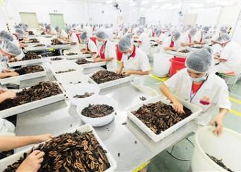万宁槟榔成富民产业,实现总产值20多亿元