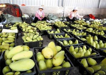 三亚芒果畅销国内外,出岛量日均上千吨