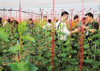 昌江将扩种王品蜜瓜,计划5年规模达上万亩