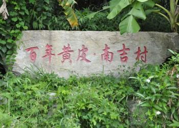 儋州黄皮出大成,去南吉村品位百年黄皮
