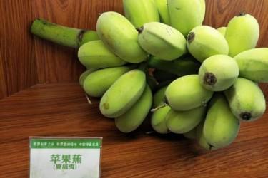 澄迈成为海南香蕉第一县,种植面积突破10万亩