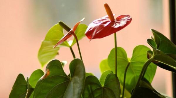 海南常见的红掌品种有哪些