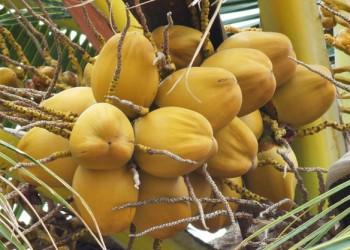海南金椰子
