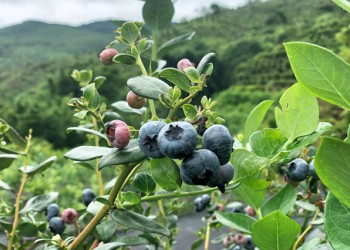北果南种,是她,让蓝莓在海南扎根!