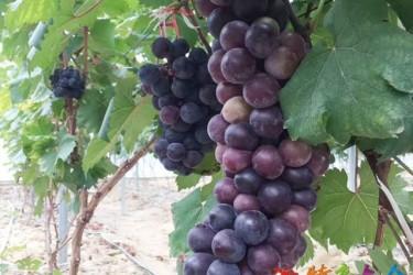 儋州七叶葡萄