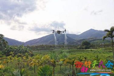 三亚用无人机为槟榔树喷药,防治黄化槟榔效果显著