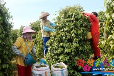 海南农垦胡椒绿色环保加工厂落户东昌农场