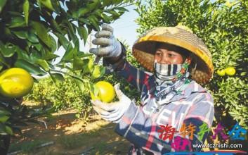 2020海南白沙红橙采收上市,预计今年产量达300万斤
