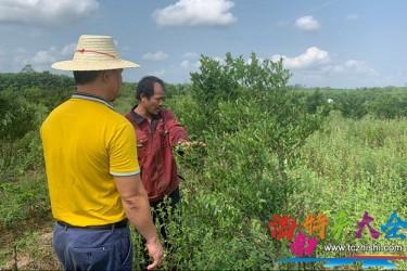 临高大力发展油茶特色产业,种植面积超1500亩