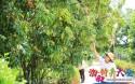 儋州大成黄皮迎来采摘季,2021年预计产量达240万斤
