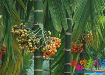 海南槟榔青果价格翻数倍,到底能持续多久?