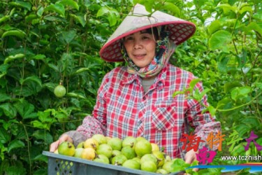 荣邦黄金百香果迎来采摘季,预计产量达130万斤
