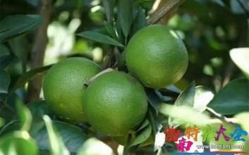 海南东方积极发展绿橙产业,种植面积达18000多亩