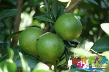 海南东方绿橙