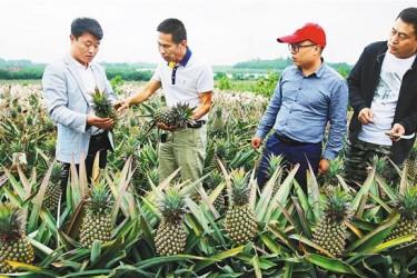 澄迈凤梨成市场新宠 果品供不应求