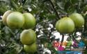 海南十大地理标志水果介绍,有你没吃过的吗?