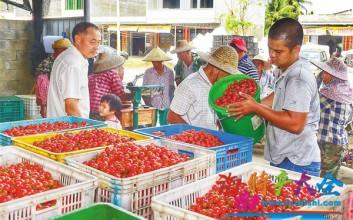 定安潭黎圣女果大量上市,每日出货量高达60余吨