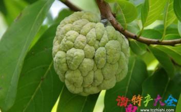 海南番荔枝是一种怎样的存在,你真的懂它吗?