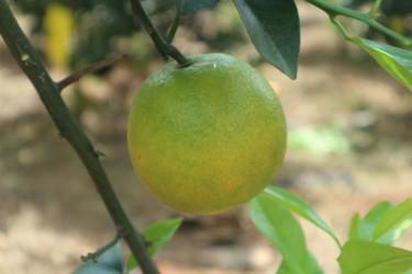 海南11月上市水果大集合,你都吃过哪些!