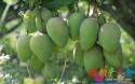 海南芒果主要种植区域参考,你想知道的信息都在这里!