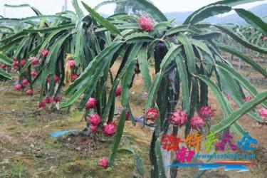 海南火龙果主栽品种介绍,你都见过哪些?
