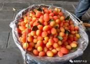 网红水果金西梅现身海南,这么漂亮的神果究竟是啥?